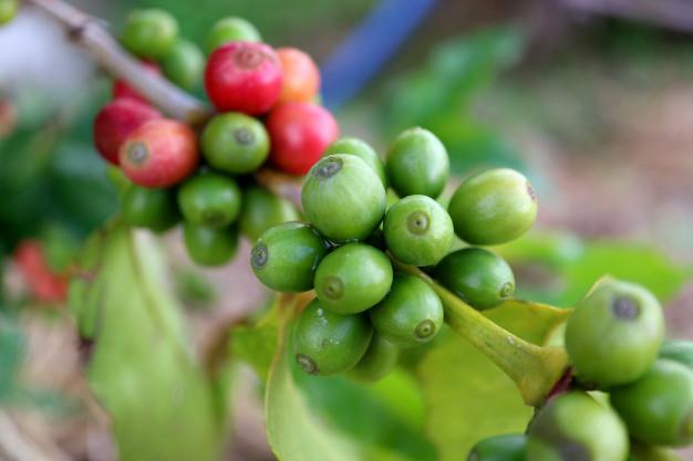 o-que-e-cafe-verde
